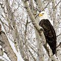 Bald Eagle by Sheryl Saxton