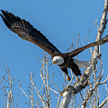 Bald Eagle Shows Its Focus by Tony Hake