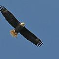 Bald Eagle Soaring by Alan Lenk