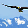 Bald Eagle Soars Over Hood Canal by Gary Langley