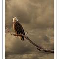 Bald Eagle Storm by Richard Cronberg