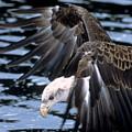 Bald Eagle Strikes by Larry Allan