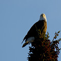 Bald Eagle by Tammy Hankins