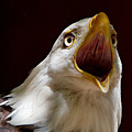 Bald Eagle - The Great Call by Sue Harper