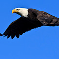 Bald Eagle by Tim Hauf