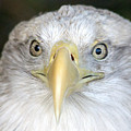 Bald Eagle Up Close by Larry Allan