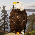 Bald Eagle Vancouver by Peter J Sucy