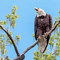 Bald Eagle Warning by Dawn Key