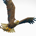 Bald Eagle With Fish by William Jobes