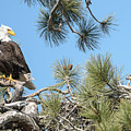 Bald Eagle With Nestling by Richard Eastman