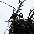 Bald Eagles Along The Delaware River by William Rogers