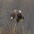 Bald Eagles Balancing by Jenny Hibbert
