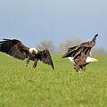 Bald Eagles by Out West Originals