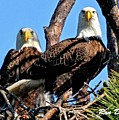 Bald Eagles In Nest by Ronald Dickey