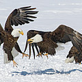 Bald Eagle's by Wesley Aston