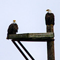 Bald Eagles by William Rogers