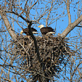 Bald Eagles Working On The Nest   3682 by Jack Schultz