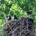 Bald Eaglet's 5 Wks 2 by Mike Wheeler