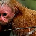 Bald Uakari Monkey by Dant� Fenolio