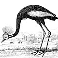 Balearic Crane by Granger