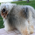 ball of fur Havanese dog by Sally Weigand