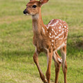 Ballerina Fawn by Bruce Nikle
