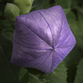 Balloon Flower by Nancy Griswold