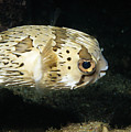 Balloonfish Profile Puffer Fish, Diodon by James Forte