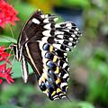 Baltimore Checker Spot Butterfly by Reva Steenbergen