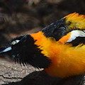 Baltimore  Oriole 2 by Brad Kennedy