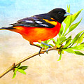 Baltimore Oriole Bird by Laura D Young