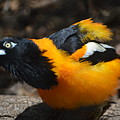 Baltimore  Oriole by Brad Kennedy