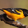 Baltimore Oriole by Bruce J Robinson