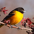 Baltimore Oriole In Crabapple by Bruce J Robinson