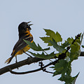 Baltimore Oriole by Jan M Holden