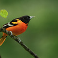 Baltimore Oriole by Reva Dow