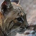 Bama Bobcat by Maria Urso