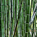 Bamboo  by Chuck Kuhn