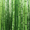 Bamboo by Dorothy Binder