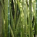 Bamboo Grove by Christi Kraft