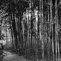Bamboo In Black And White by Louise Reeves