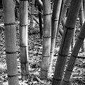 Bamboo In The Shade by Robin Lewis