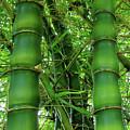 Bamboo by Loriannah Hespe