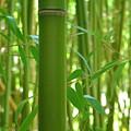 Bamboo by Rhianna Wurman