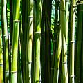 Bamboo by Robert Edgar