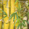 Bamboo Stalks by Ron Dahlquist - Printscapes