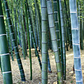 Bamboo Tree Forest, Close Up by Axiom Photographic