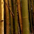 Bambusa Vulgaris by Susanne Van Hulst