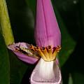 Banana Blossom by Christopher Holmes
