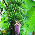 Banana Flower by Arry Murphey